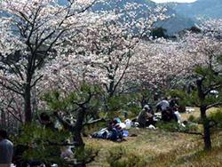 Web高知-土佐路ぶらり-針木浄水場の桜